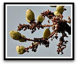 Boswellia serrate