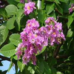 banaba as a herbal medicine