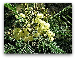 Black wattle, list of high protein foods align=