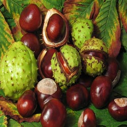 Horse chestnut is also known as spanish chestnut buckeye aesculus