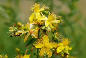 benefits of St Johns wort