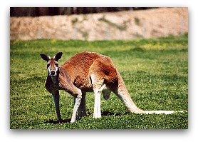 Kangaroo,list of high protein foods